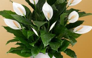 Цветок спатифиллум – женское счастье на подоконнике